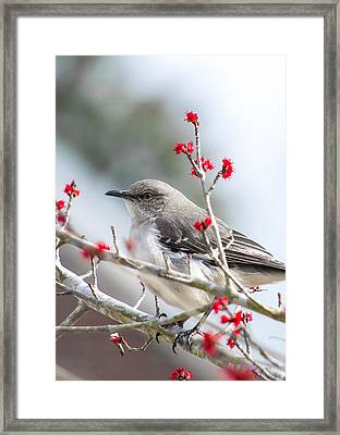 Mockingbird In The Blossoms Framed Print by Shelby  Young