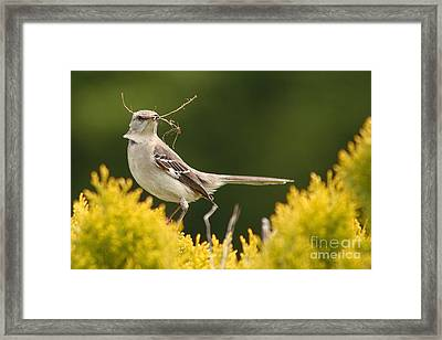 Mockingbird Perched With Nesting Material Framed Print by Max Allen