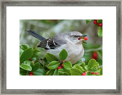 Mockingbird With Berry Framed Print by Rebecca Miller