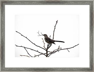 Mockingbird With Twig Framed Print