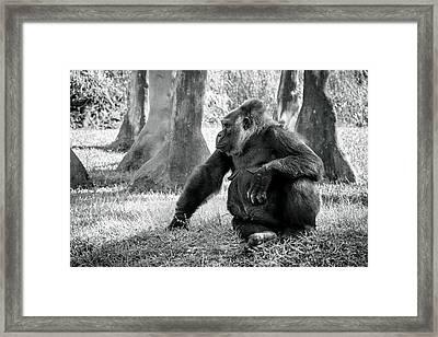 Modeling Gorilla Framed Print