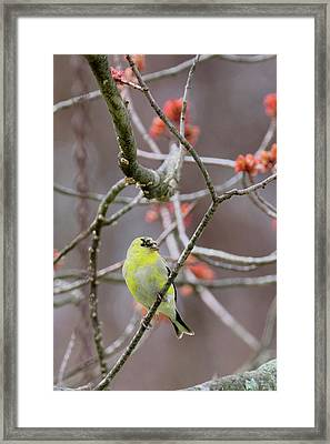 Framed Print featuring the photograph Molting Gold Finch by Bill Wakeley
