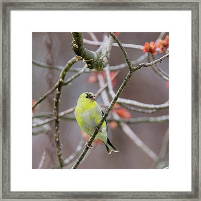 Framed Print featuring the photograph Molting Gold Finch Square by Bill Wakeley
