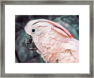 Moluccan Cockatoo Framed Print by Bob Slitzan