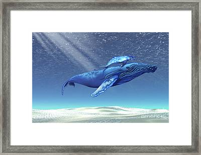 Mom And Baby Humpback Whales Swim Framed Print by Corey Ford