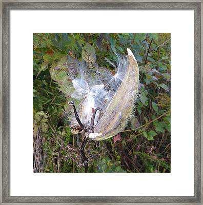 Framed Print featuring the photograph Moment In The Life Of A Milkweed by Joel Deutsch