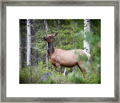 Momma Elk Is Watching Framed Print by Ken Cornett