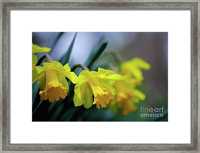 Mom's Daffs Framed Print by Lois Bryan