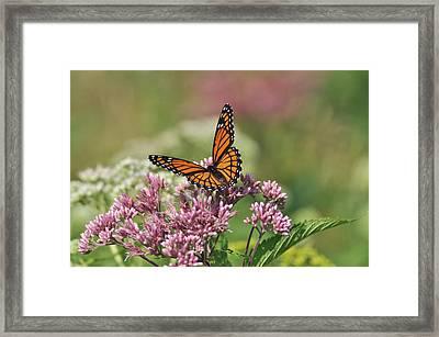 Monarch 1 Framed Print