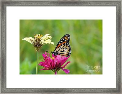 Monarch 10 Framed Print