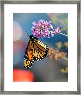 Monarch 2011 E Framed Print
