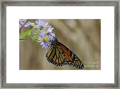Monarch 2015 Framed Print by Randy Bodkins