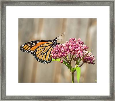 Monarch 2017-2 Framed Print