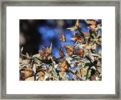 Monarch Active Cluster Framed Print