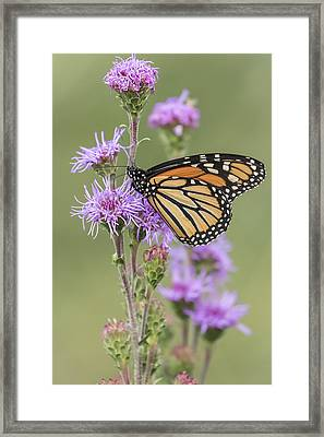 Monarch And Blazing Star 1-2015 Framed Print