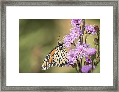 Monarch And Blazing Star 2-2015 Framed Print