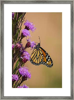 Monarch And Blazing Star 2013-1 Framed Print