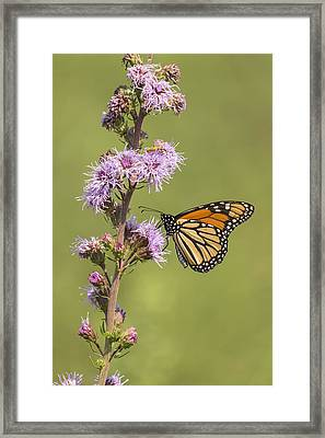 Monarch And Blazing Star 4-2015.jpg Framed Print