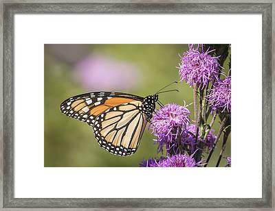 Monarch And Blazing Star 5-2015 Framed Print by Thomas Young