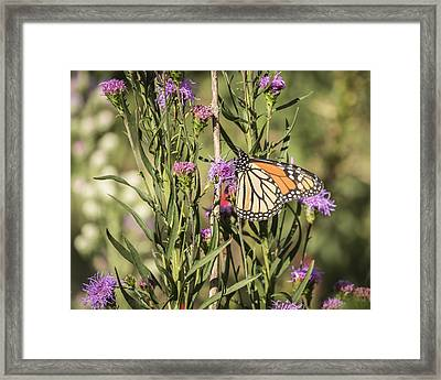 Monarch And Blazing Star 7-2015 Framed Print by Thomas Young