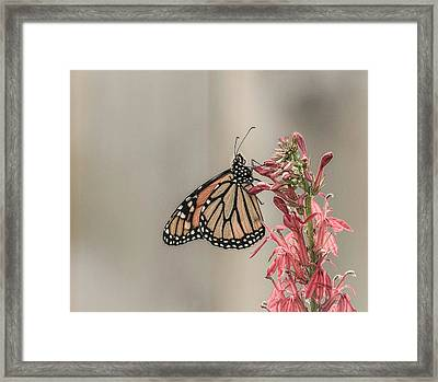 Monarch And Cardinal Flower 2016-2 Framed Print by Thomas Young
