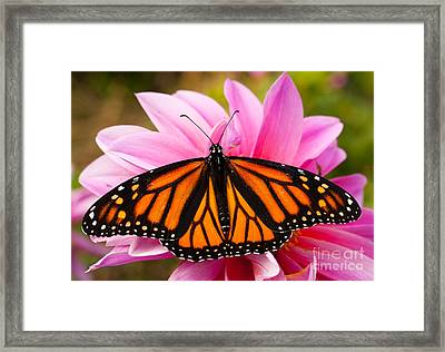 Monarch And Dahlia Framed Print