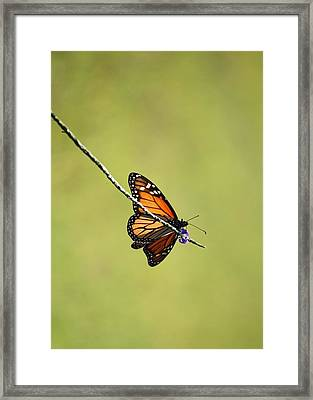 Monarch And Natural Green Canvas Framed Print