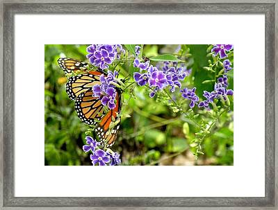 Framed Print featuring the photograph Monarch And Purple Flowers by Rosalie Scanlon