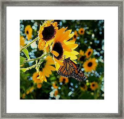 Monarch And Sunflowers Framed Print by Chris Berry