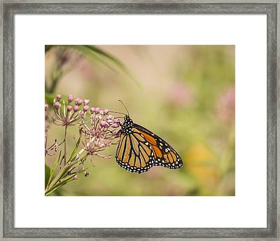 Monarch And Swamp Milkweed 1-2015 Framed Print by Thomas Young