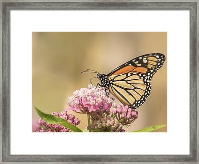 Monarch And Swamp Milkweed Framed Print by Thomas Young