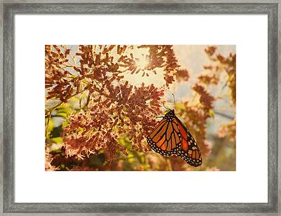 Monarch Beauty Framed Print by Beth Collins