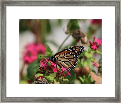 Monarch Butterfly On Fuchsia Framed Print