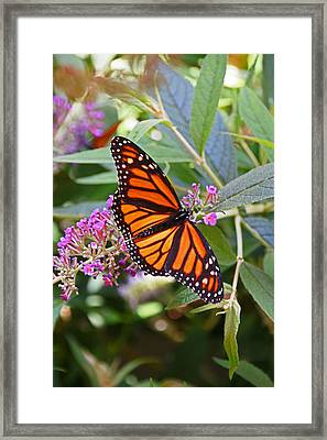 Monarch Butterfly 2 Framed Print