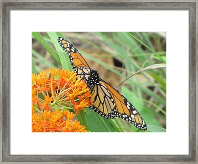 Framed Print featuring the photograph Monarch Butterfly 3049 by Maciek Froncisz
