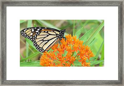 Framed Print featuring the photograph Monarch Butterfly 3050 by Maciek Froncisz