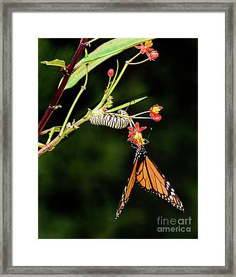 Monarch Butterfly And Caterpillar Feeding Framed Print