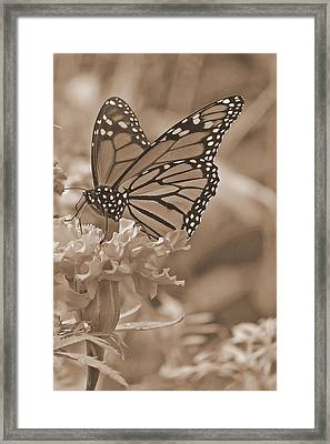 Monarch Butterfly And Marigold Flower In Sepia Framed Print