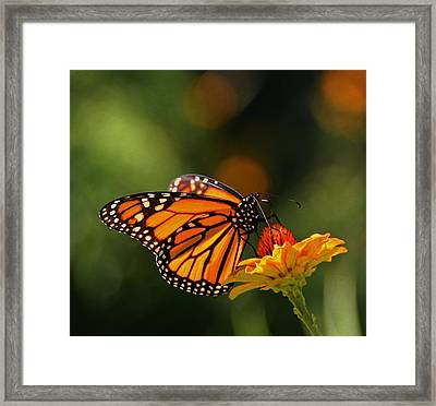Monarch Butterfly And Zinnias  Framed Print by Chris Berry