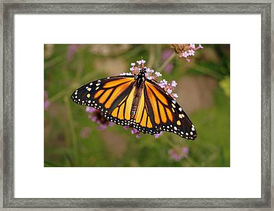 Monarch Butterfly Framed Print by Beth Collins