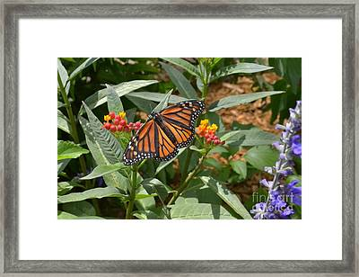 Framed Print featuring the photograph Monarch Butterfly by Carol  Bradley