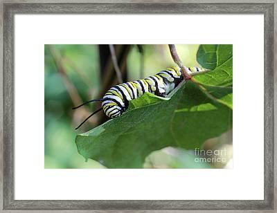 Monarch Butterfly Caterpillar Eating Milkweed Leaf Framed Print