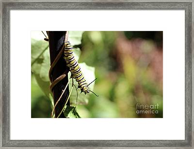 Monarch Butterfly Caterpillar Looking At You Framed Print by Adam Long