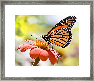 Monarch Butterfly Framed Print by Chris Lord
