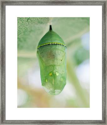 Monarch Butterfly Chrysalis - Jeweled Treasure Framed Print