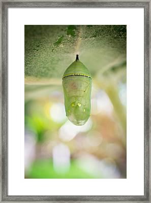 Monarch Butterfly Chrysalis Framed Print