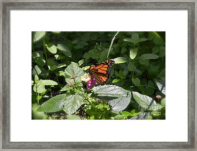 Framed Print featuring the photograph Monarch Butterfly Feeding by Carol  Bradley