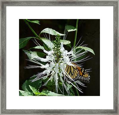 Monarch Butterfly Feeding Framed Print by Margaret Saheed