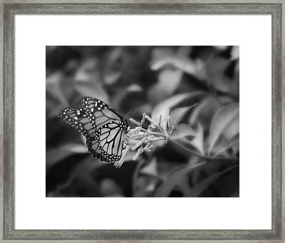 Monarch Butterfly In Black And White Framed Print