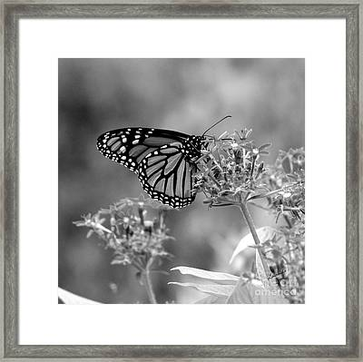 Framed Print featuring the photograph Monarch Butterfly In Bw by Laurinda Bowling